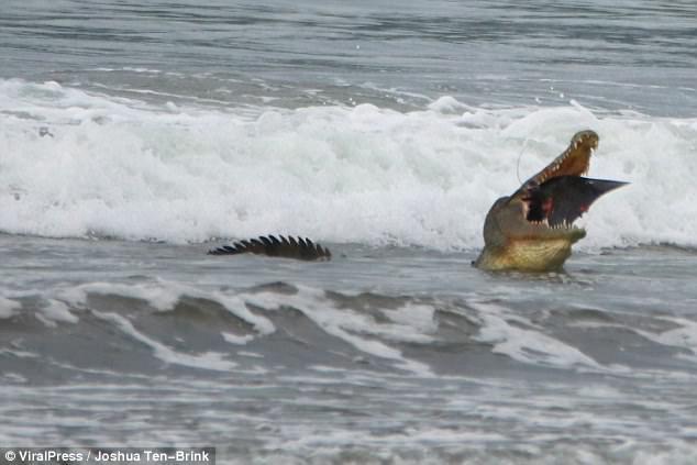 Chuyện lạ: Cá sấu đói ăn đâm làm liều, mò ra tận biển để săn thịt cá đuối - Ảnh 3.