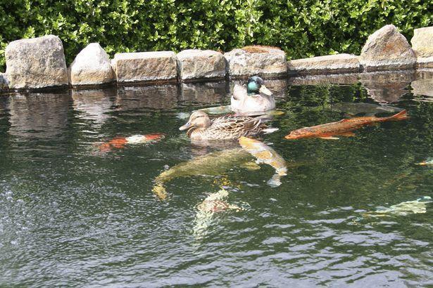 Thấy đàn cá chép Koi bị ăn thịt, người đàn ông kinh ngạc khi phát hiện kẻ tấn công trên camera an ninh - Ảnh 4.