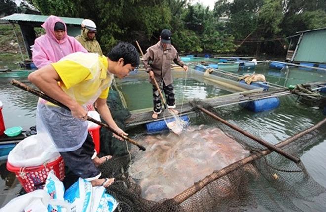 Người dân hối hả thu hoạch cá lồng phục vụ thị trường Tết  - Ảnh 5.