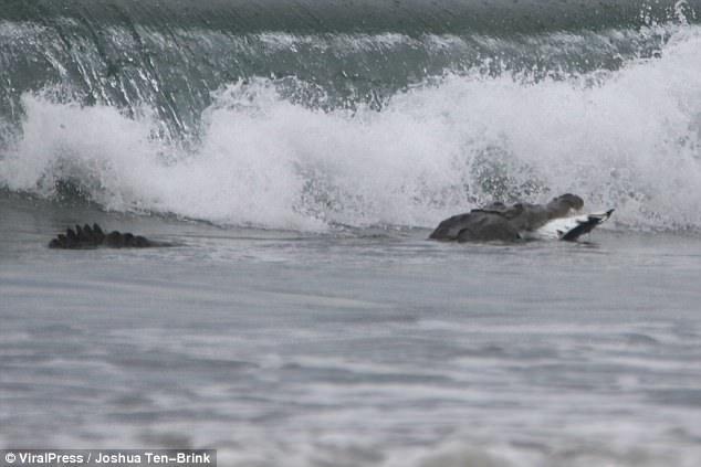 Chuyện lạ: Cá sấu đói ăn đâm làm liều, mò ra tận biển để săn thịt cá đuối - Ảnh 4.