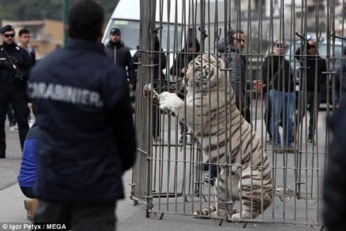 Dân hoảng loạn vì hổ trắng xổng chuồng, đi lang thang trên phố - Ảnh 5.