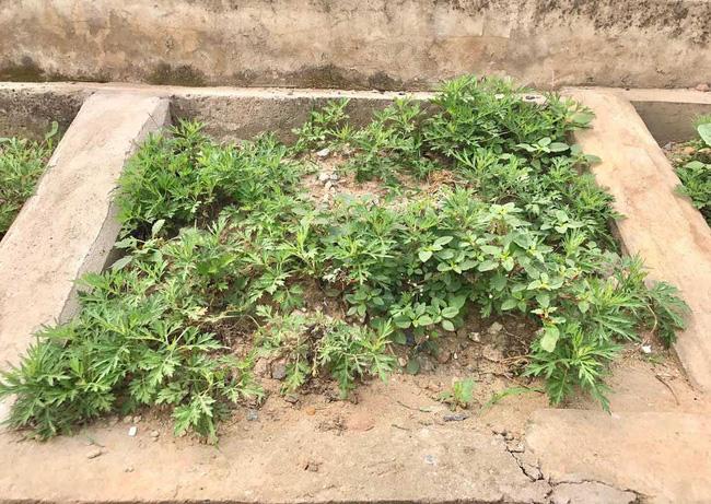 Khoét lỗ bê tông trồng rau: Hà thành sánh cùng Hà Giang - Ảnh 6.