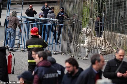 Dân hoảng loạn vì hổ trắng xổng chuồng, đi lang thang trên phố - Ảnh 6.