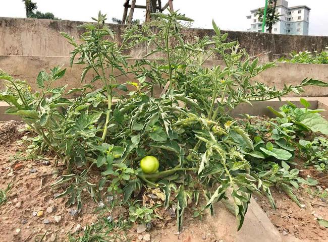 Khoét lỗ bê tông trồng rau: Hà thành sánh cùng Hà Giang - Ảnh 7.
