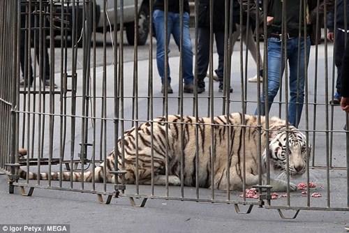 Dân hoảng loạn vì hổ trắng xổng chuồng, đi lang thang trên phố - Ảnh 8.