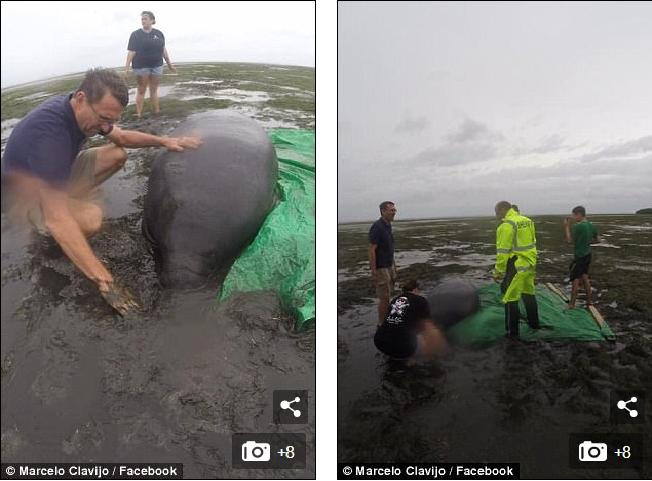 Siêu bão khiến nước rút sạch, lợn biển đen đủi mắc cạn vì không chạy kịp - Ảnh 2.