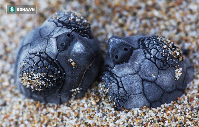Biến đổi khí hậu khiến rùa biển đối mặt với nguy cơ chênh lệch giới tính - Ảnh 1.