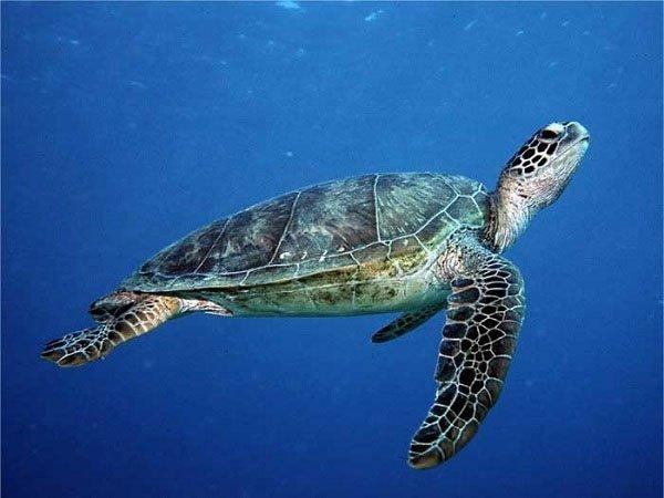 Biến đổi khí hậu khiến rùa biển đối mặt với nguy cơ chênh lệch giới tính - Ảnh 2.