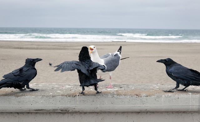 Một mình hải âu so găng với 2 quạ đen: Cuộc chiến giành địa bàn của những kẻ thiên địch - Ảnh 6.