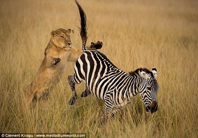 Sư tử vật vã tấn công, mím môi chịu đâu để hạ gục được con mồi - Ảnh 1.