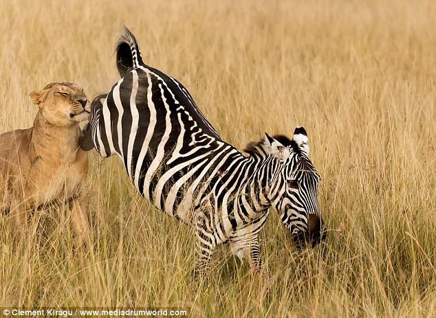Sư tử vật vã tấn công, mím môi chịu đâu để hạ gục được con mồi - Ảnh 4.