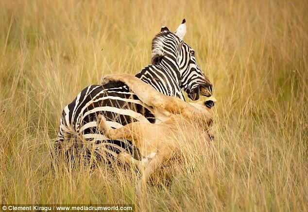 Sư tử vật vã tấn công, mím môi chịu đâu để hạ gục được con mồi - Ảnh 5.