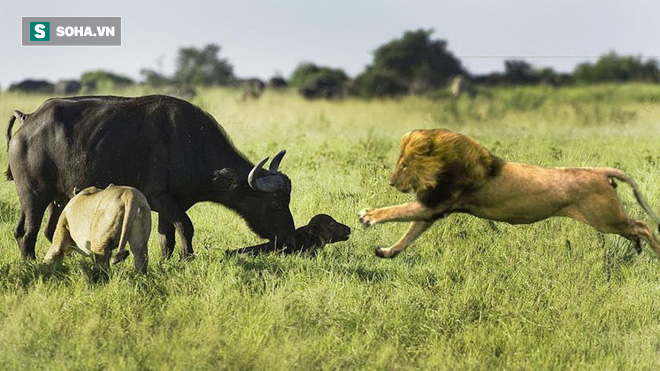 Oan gia ngõ hẹp: Sắp bắt được nghé đi lạc, sư tử gặp ngay bóng đen lao ra từ bụi rậm - Ảnh 2.