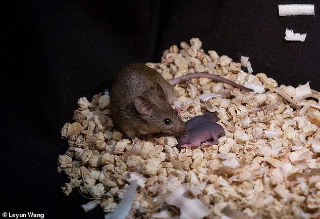 Các nhà khoa học Trung Quốc tạo ra được chuột con từ 2 con chuột cái, không cần đến con đực - Ảnh 4.