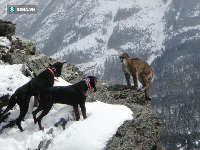 Bị đàn chó săn dồn vào đường cùng, báo sư tử rơi xuống vách núi cao 30m - kết cục ra sao? - Ảnh 1.