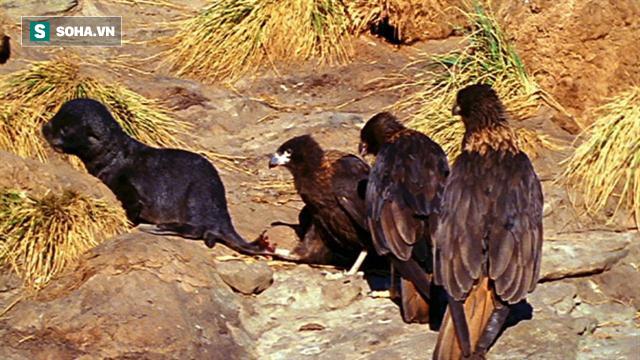 Mẹ đi vắng, hải cẩu con kêu la trong đau đớn vì bị ác điểu tấn công, số phận nó sẽ ra sao? - Ảnh 2.
