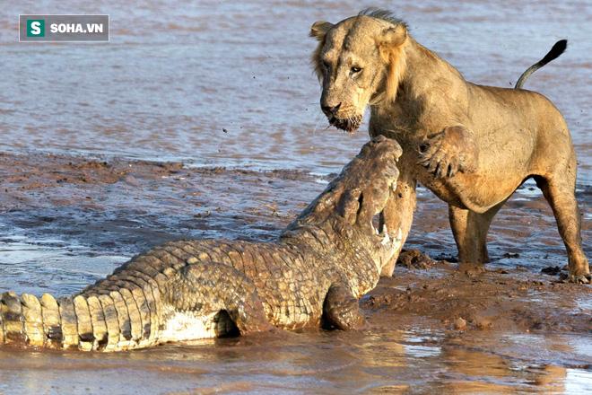 Gan cùng mình, cò mỏ vàng ngang nhiên kiếm ăn trước mõm cá sấu - Ảnh 1.