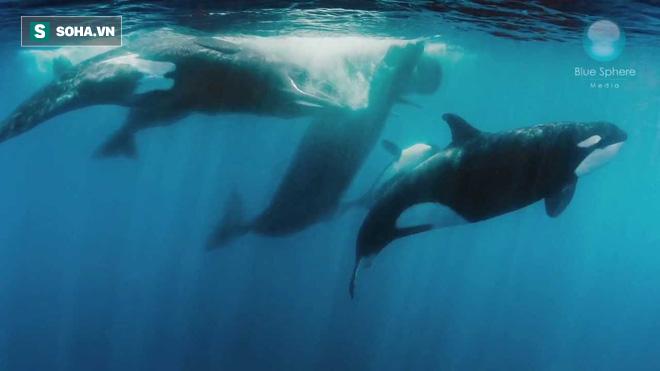 Cá voi đầu cong nặng gần trăm tấn bị bầy sói biển giết chết chỉ vì... cái lưỡi - Ảnh 1.