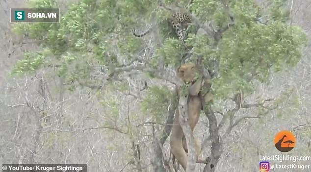 Đi ăn cướp, sư tử leo tận lên cây nhưng rồi lại tụt xuống vì động thái này của báo hoa - Ảnh 3.