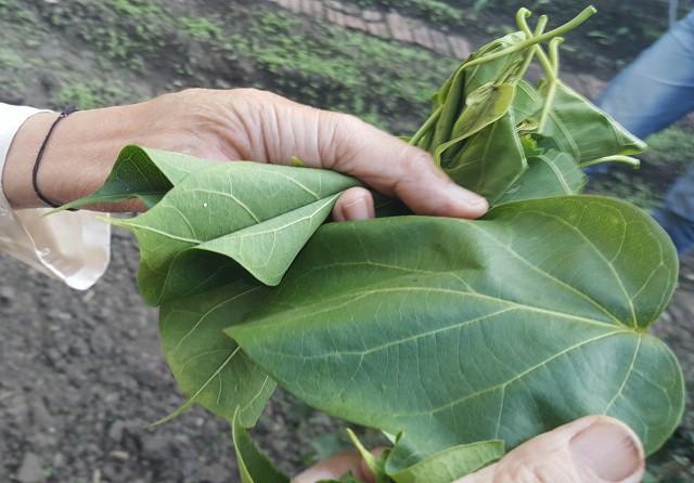 Cháo ấu tẩu và lá ngón xào tỏi - 2 đặc sản có độc của vùng cao và chuyện thú vị đằng sau - Ảnh 4.