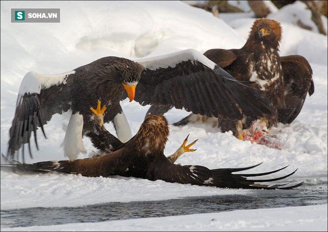Loài đại bàng lớn nhất thế giới bại trận vì dính tuyệt chiêu của đại bàng vàng - Ảnh 1.