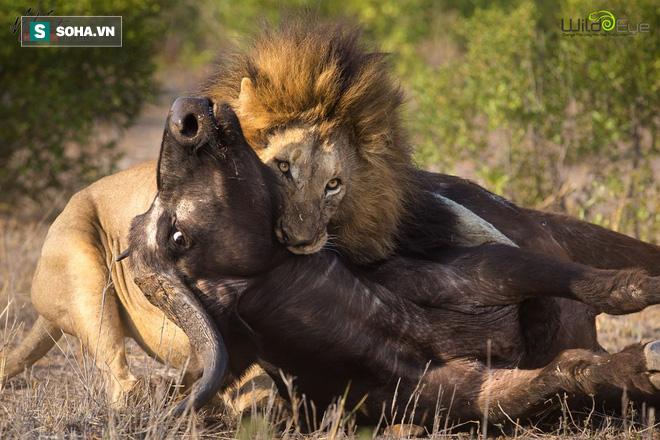 Sư tử đực hoảng hốt tháo chạy vì con mồi bỗng dưng lật ngược được thế cờ - Ảnh 1.