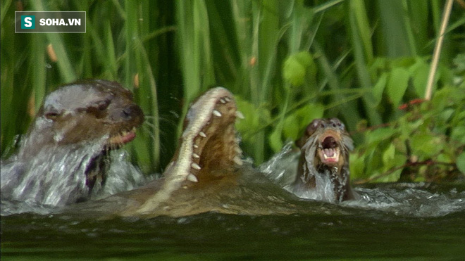 Cả nhà rái cá hợp sức giết chết cá sấu nhưng cái giá phải trả thì không hề nhỏ - Ảnh 1.