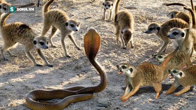 Đại gia đình cầy vằn bao vây, quyết giết chết kẻ đột nhập, rắn hổ mang liệu sẽ ra sao? - Ảnh 1.