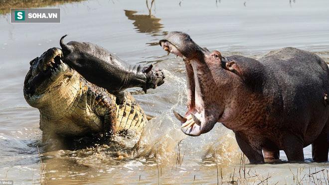 Rình rập hà mã con, cá sấu nhận bài học nhớ đời từ bà mẹ khổng lồ - Ảnh 2.