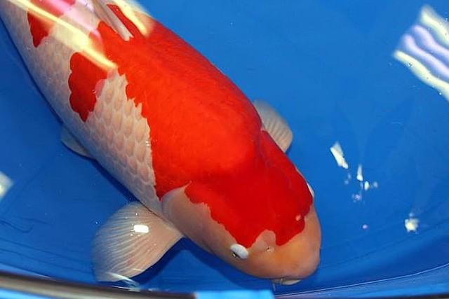 Ngắm cá Koi đắt nhất địa cầu giá gần 42 tỷ đồng - Ảnh 1.