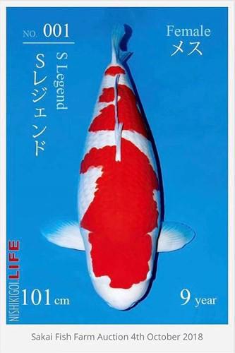 Ngắm cá Koi đắt nhất địa cầu giá gần 42 tỷ đồng - Ảnh 2.
