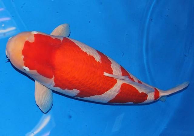 Ngắm cá Koi đắt nhất địa cầu giá gần 42 tỷ đồng - Ảnh 3.