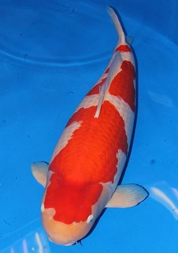Ngắm cá Koi đắt nhất địa cầu giá gần 42 tỷ đồng - Ảnh 4.