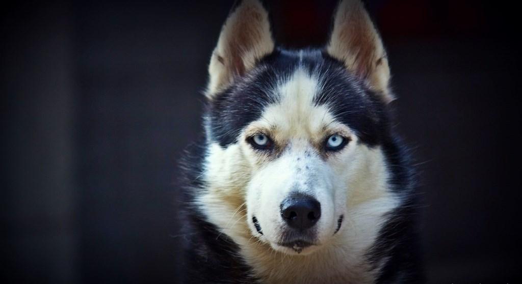 Kiểm tra 6.070 con chó Husky, giới khoa học đã hiểu vì sao mắt chúng có màu xanh  - Ảnh 5.