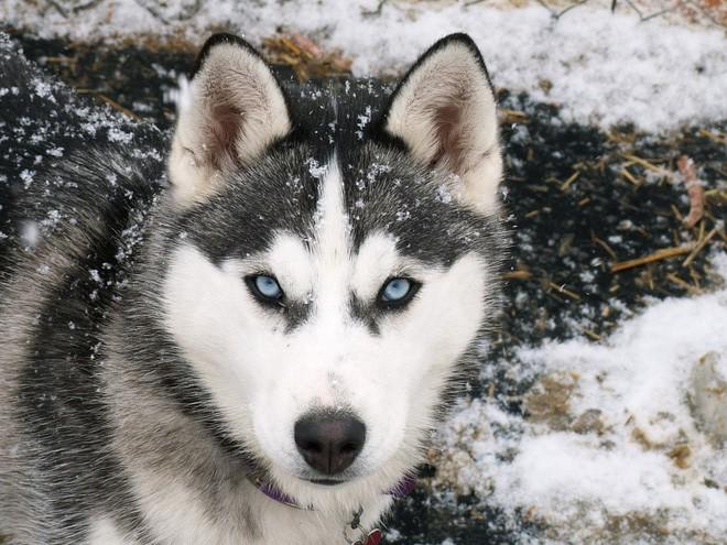 Kiểm tra 6.070 con chó Husky, giới khoa học đã hiểu vì sao mắt chúng có màu xanh  - Ảnh 4.