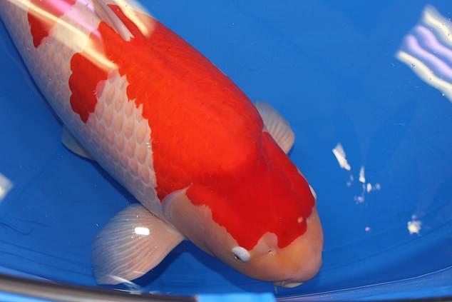 Mục sở thị cá Koi đắt nhất thế giới, giá 41 tỷ đồng - Ảnh 1.