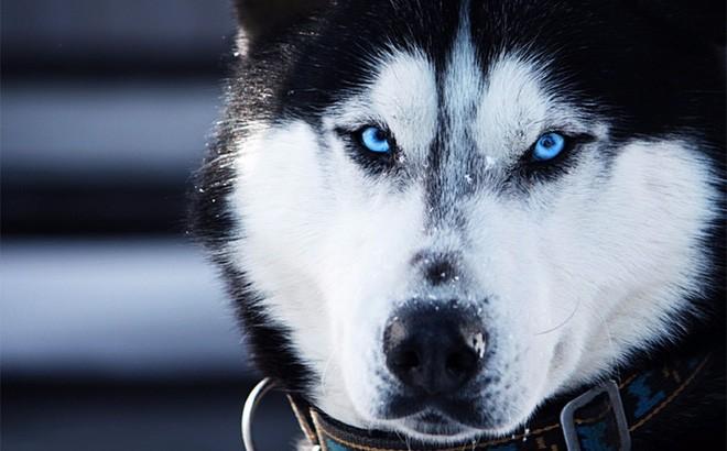 Kiểm tra 6.070 con chó Husky, giới khoa học đã hiểu vì sao mắt chúng có màu xanh  - Ảnh 1.
