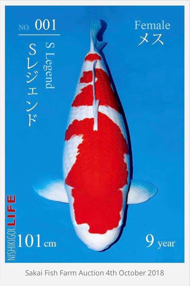 Cá Koi dài hơn 1 mét có giá bán kỷ lục: Chạm mức gần 42 tỷ đồng - Ảnh 2.