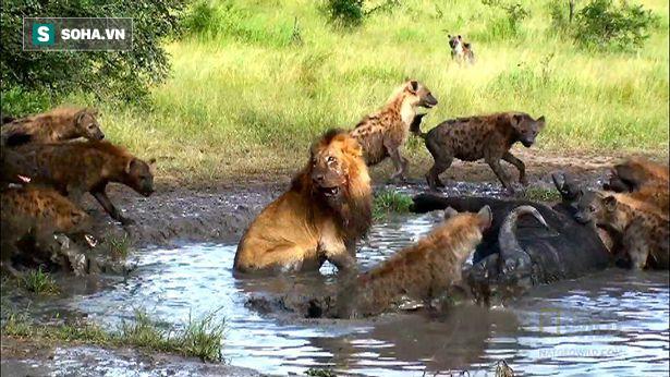 Sư tử khốn khổ vì bị linh cẩu đánh hội đồng, đồng bọn trên bờ không dám ho he - Ảnh 1.