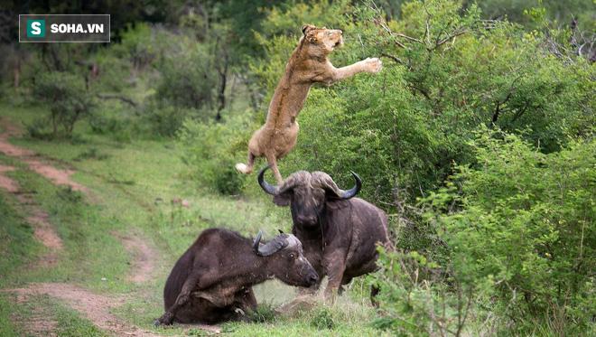 Kéo nhau vào rừng đi săn, cả nhà sư tử vẫn phải nhịn đói vì con mồi quá cứng - Ảnh 1.