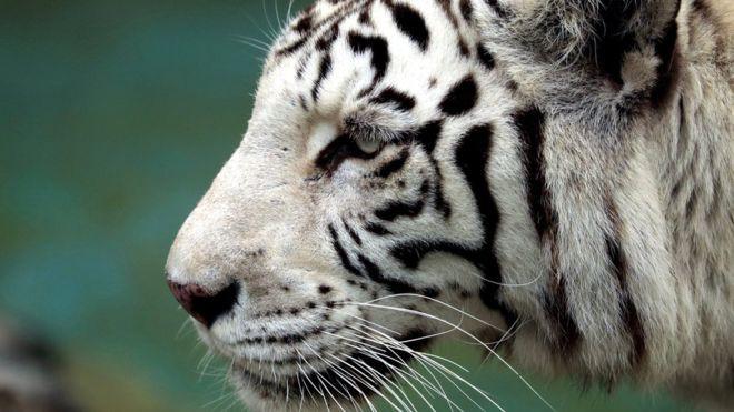 Hổ trắng quý hiếm vồ chết nhân viên vườn thú - Ảnh 1.