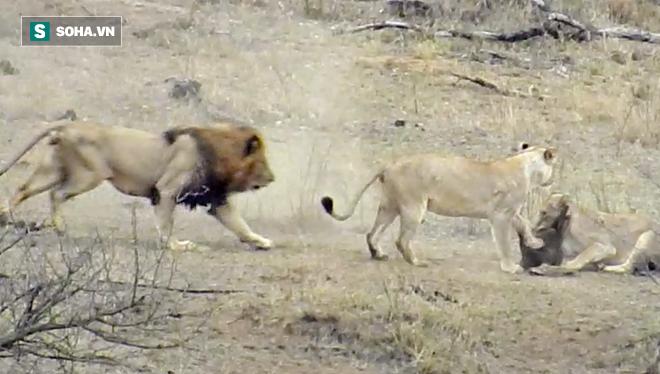 Đói ăn, nóng vội, sư tử đực khiến cả đàn vụt mất con mồi vào phút chót - Ảnh 2.