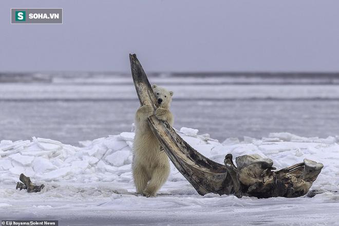 Bữa tiệc hiếm ở Alaska: Cận cảnh gấu Bắc Cực gặm xương của con cá voi nặng 75 tấn - Ảnh 2.