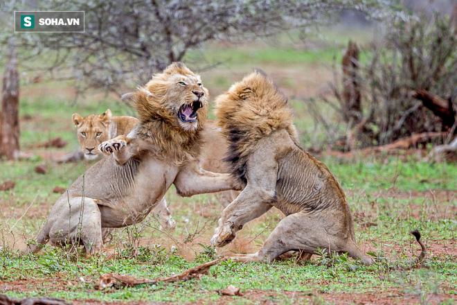 Âm mưu cướp mồi, 3 con sư tử trẻ nhận bài học nhớ đời từ trận đòn thừa sống thiếu chết - Ảnh 1.