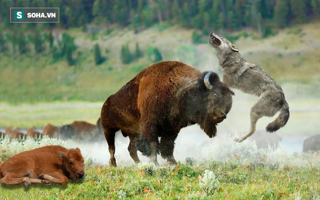 Từ kẻ đi săn, chó sói bị chính con mồi phản công, giày vò đến khổ sở - Ảnh 1.