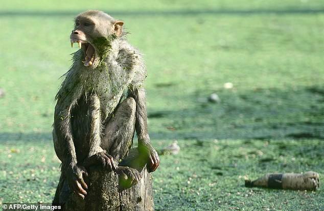 Khỉ đột nhập nhà, bắt trẻ nhỏ mang đi khiến đứa bé tử vong - Ảnh 2.