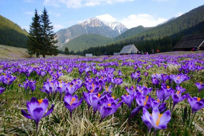 Bí mật thú vị của saffron - gia vị đắt nhất thế giới gần 1 tỷ/kg từng được Nữ hoàng Ai Cập dùng dưỡng nhan sắc - Ảnh 2.