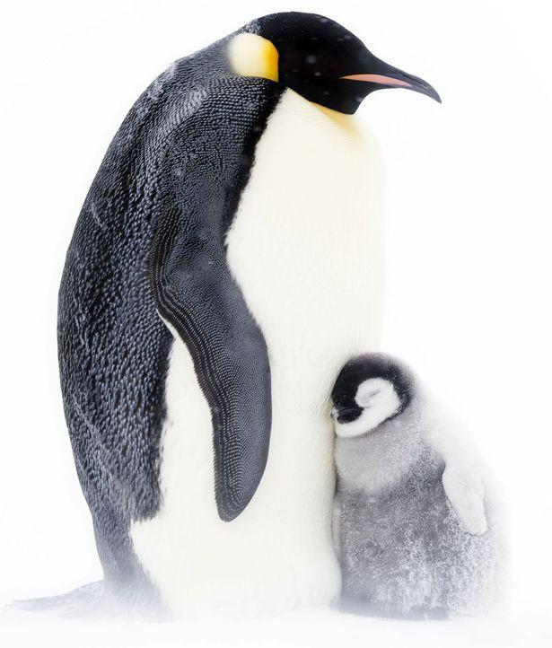 Giải cứu đàn chim cánh cụt mắc kẹt trong khe núi -60 độ C: Thử thách của đoàn làm phim BBC - Ảnh 4.