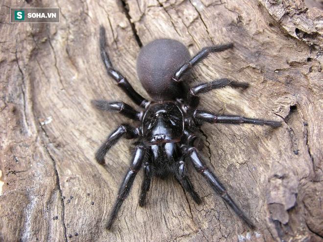 Nọc độc chết người của loài nhện Bắc Mỹ: Mạnh gấp 15 lần nọc rắn đuôi chuông  - Ảnh 1.