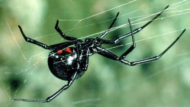 Nọc độc chết người của loài nhện Bắc Mỹ: Mạnh gấp 15 lần nọc rắn đuôi chuông  - Ảnh 3.